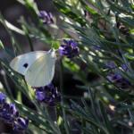 白い蝶やオレンジの蝶を見たときのスピリチュアルな意味合いとは!
