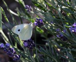 スピリチュアル 白い 蝶