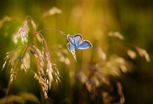 スピリチュアル 青 蝶々