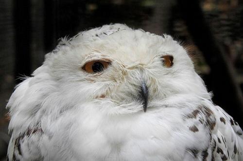 スピリチュアル 白い フクロウ