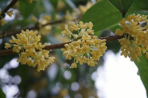 スピリチュアル 金木犀 香り