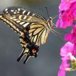 スピリチュアルなアゲハ蝶の意味とは!?
